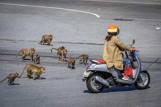 社会资讯_猴生艰难! 泰国拟抓500只猴子集体绝育|猴生|艰难-社会资讯-川北 ...