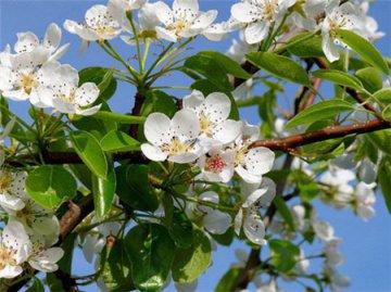 梨树为什么不开花_梨树什么时候开花? 梨树的花期有多久?|梨树|什么时候-知识 ...