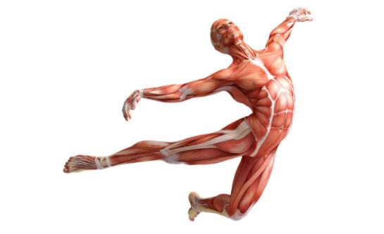 人体肌肉_你知道人体中最繁忙的肌肉是什么吗?