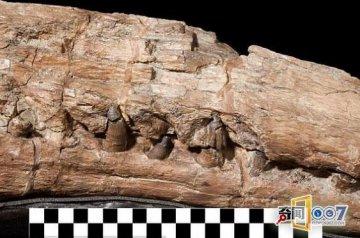 加拿大现1米长鳄鱼头骨 有一亿多年历史