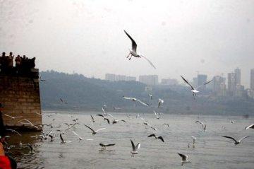 四川泸州迎来西伯利亚红嘴鸥