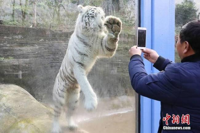 白虎喜欢被老公干屁眼视频_白虎变劳模 模仿饲养员\