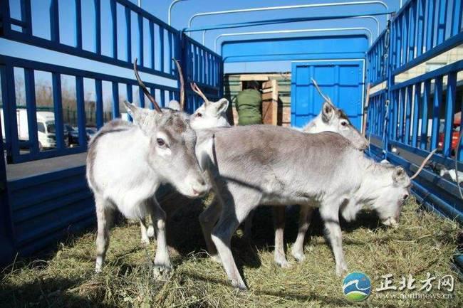 内蒙古3年引进179头驯鹿 欲打造中国最大驯鹿繁育中心