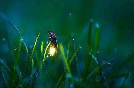 萤火虫为什么会发光? 萤火虫的寿命有多长?