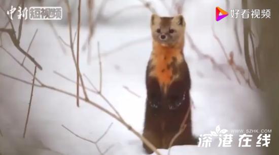 延边发现野生紫貂属国家I级重点保护动物