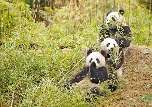 大熊猫还是天猫,古时候有食铁兽之称的动物是?