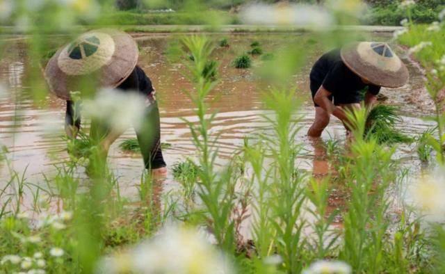 芒种养生正当时多吃苦菜、凉肉、热茶、清粥,安然度过夏季