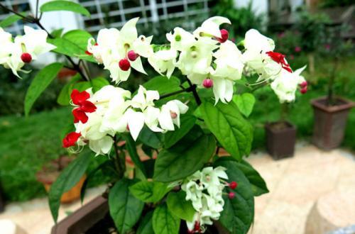 花卉养殖小课堂 龙吐珠什么时候修剪好?