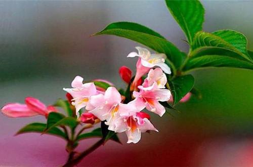 花卉养殖小课堂 五彩锦带花如何养?