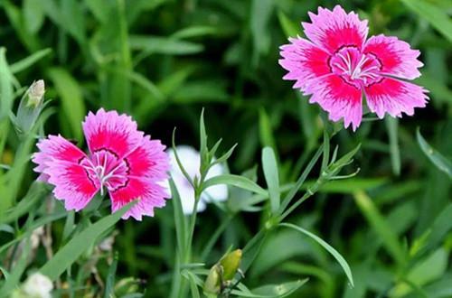 石竹花种子什么时候播种? 石竹花小苗如何养护你造吗?