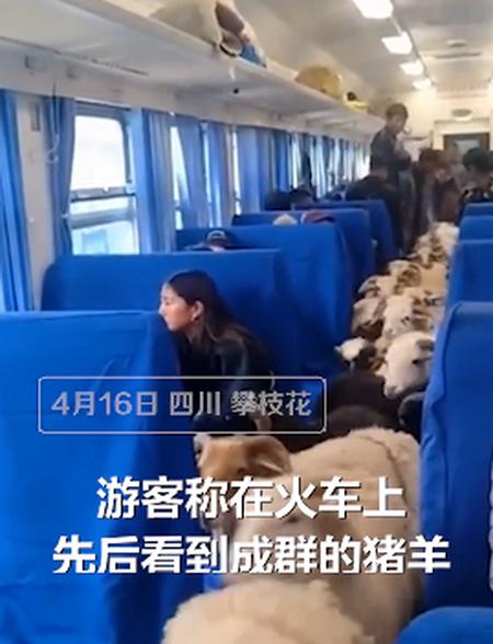 活久见!四川一火车上有猪羊成群穿行 网友:充满人世炊火气