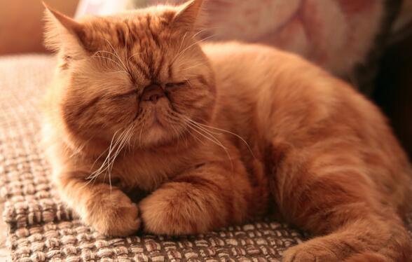 微微一笑很倾城电视剧咖啡是什么猫 加菲猫品种习性及